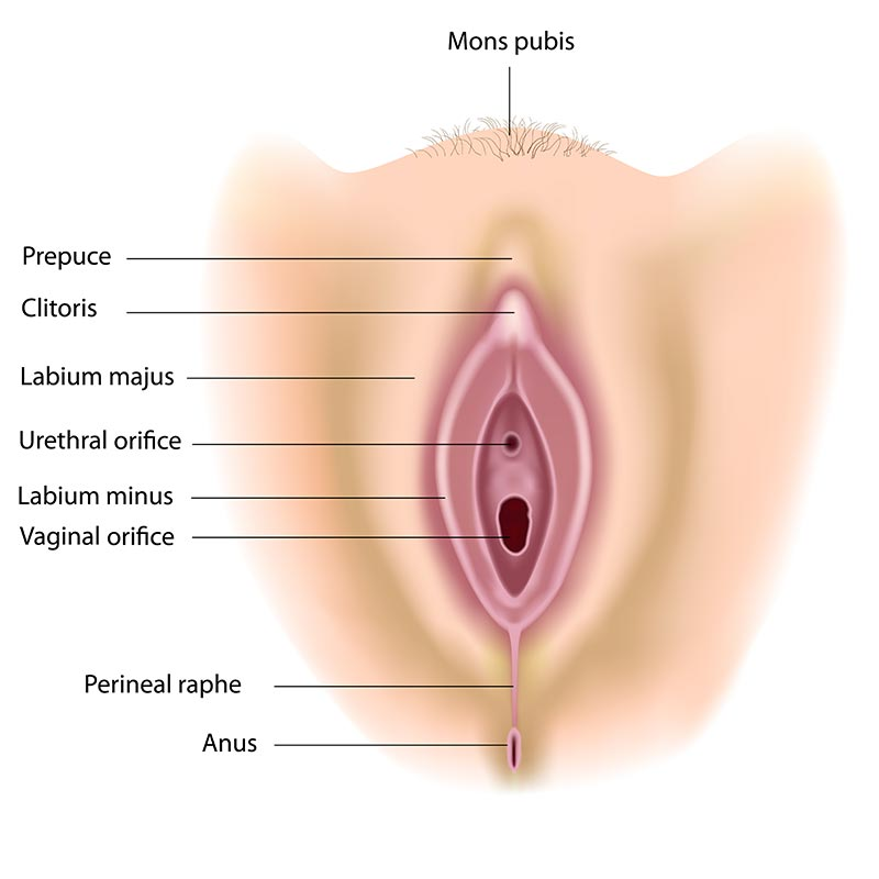 Labia diagram